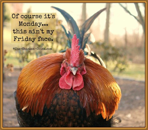 chicken-of-course-this-is-my-monday-face-its-not-friday