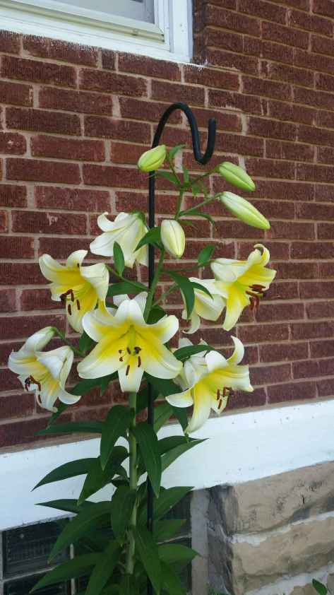 lillies opened more 1
